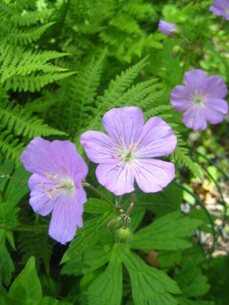 Geranium maculatum Wild Geranium flowers closeup