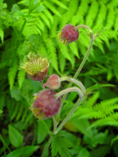 Geum rivale Water Avens flowers