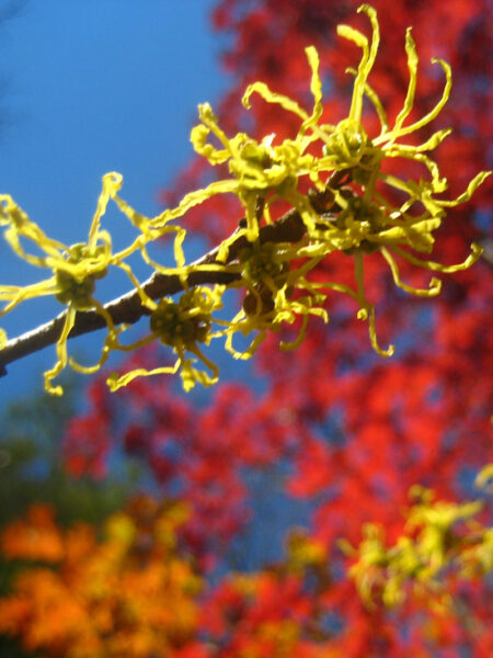 Hamamelis virginiana Witch Hazel fall colors and blooms