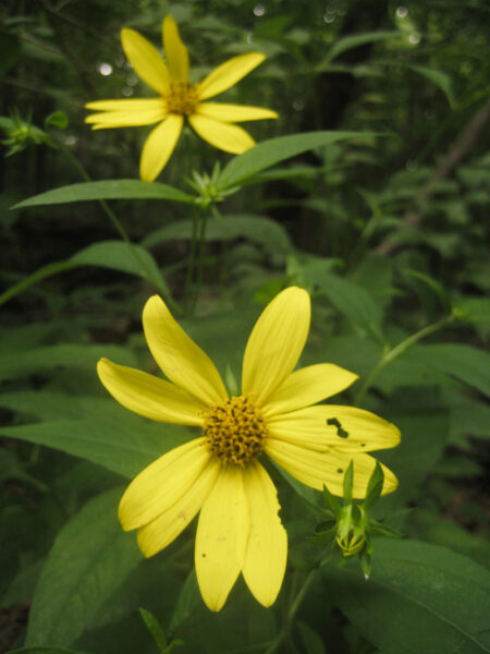 Helianthus decapetalus Thinleaf Sunflower blooms