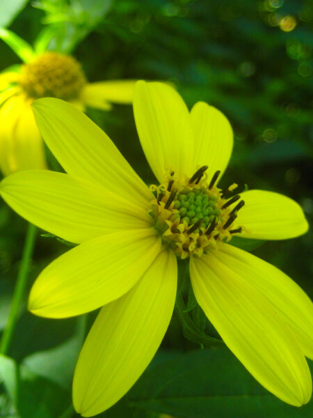 Helianthus decapetalus Thinleaf Sunflower closeup