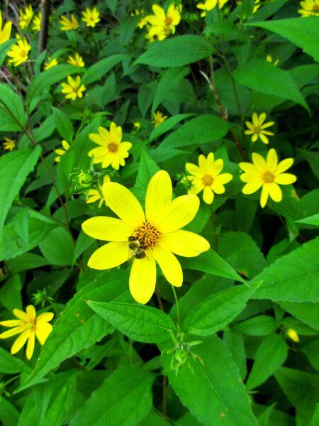 Helianthus decapetalus Thinleaf Sunflower bumblebee and flower