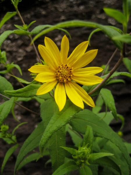 Helianthus divaricatus Woodland Sunflower Closeup