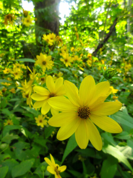 Helianthus divaricatus Woodland Sunflower blooms