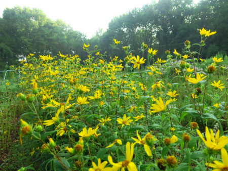 Helianthus divaricatus Woodland Sunflower drift