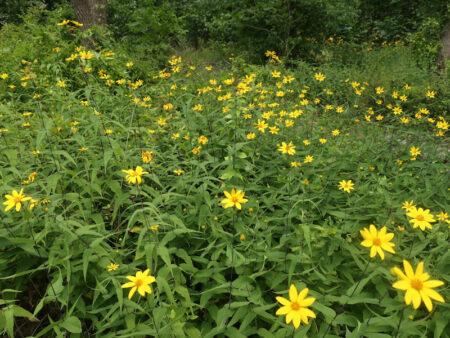 Helianthus divaricatus Woodland Sunflower glade