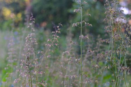 Heuchera americana Alumroot flowers