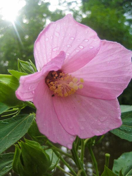 Hibiscus moscheutos Swamp Rose Mallow