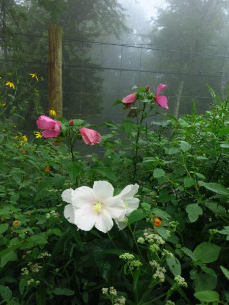 Hibiscus moschuetos Swamp Rose Mallow colors
