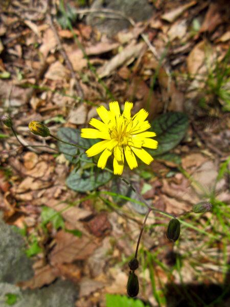 Hieracium venosum Rattlesnakeweed flower