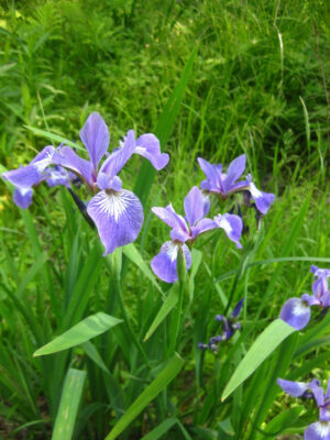 Iris versicolor Blue Flag flowers