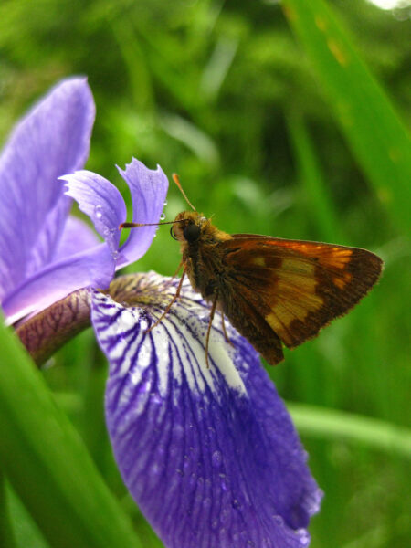 Iris versicolor Blue Flag Hobomok Skipper