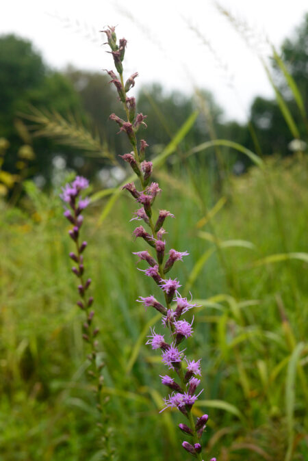Liatris spicata Blazing Star meadow