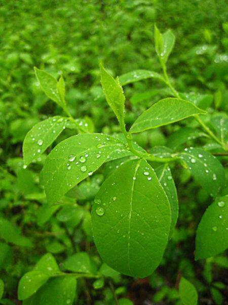 Lindera benzoin Spicebush foliage