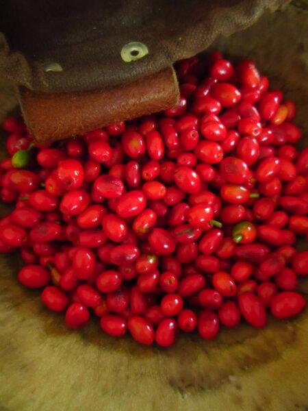 Lindera benzoin Spicebush harvest