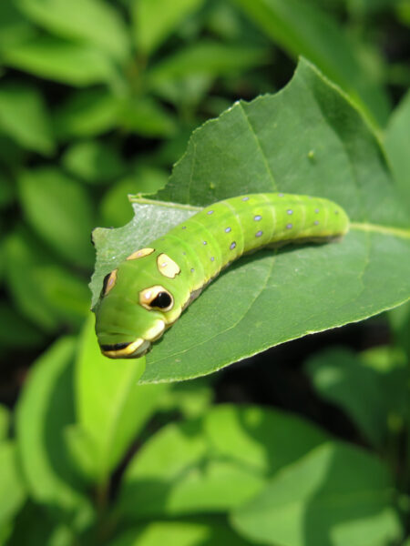 Lindera benzoin Spicebush swallowtail caterpillar