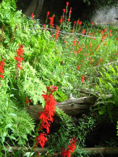 Lobelia cardinalis Cardinal Flower habit