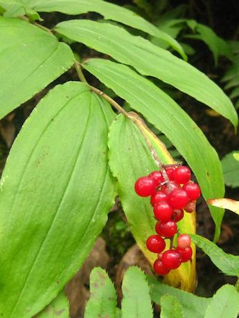 Maianthemum racemosum Solomons Plume fruit