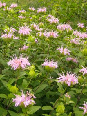Monarda fistulosa Wild Bergamot flowers