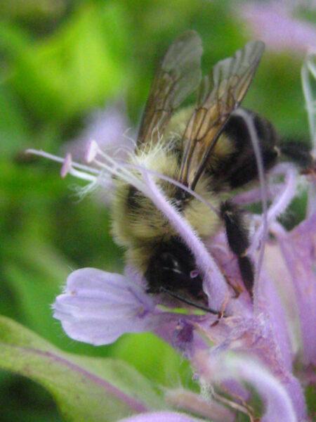 Monarda fistulosa Wild Bergamot bumblebee