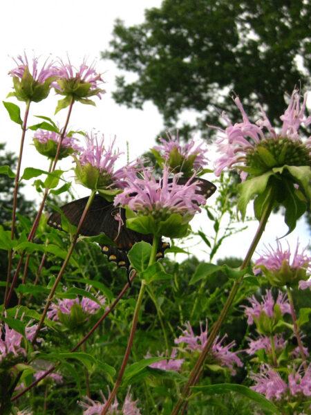 Monarda fistulosa, Wild Bergamot with swallowtail butterfly