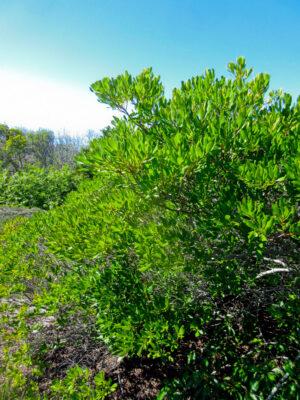 Morella pensylvanica Bayberry habit