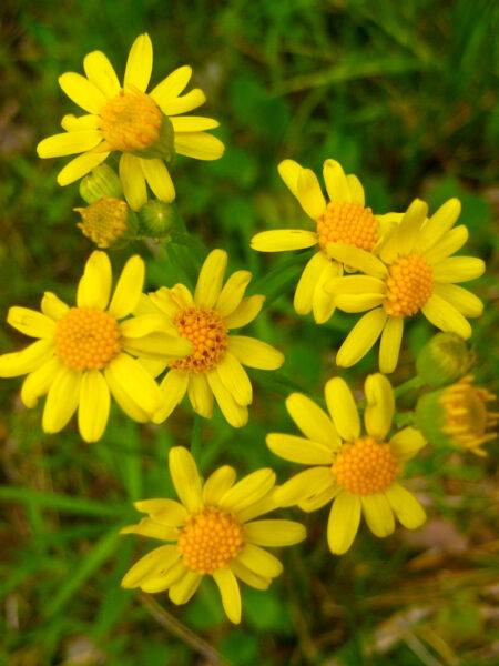 Packera aurea Golden Ragwort flowers