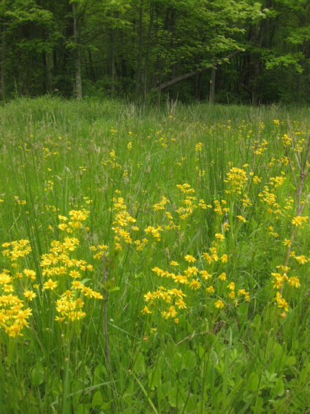 Packera aurea Golden Ragwort meadow