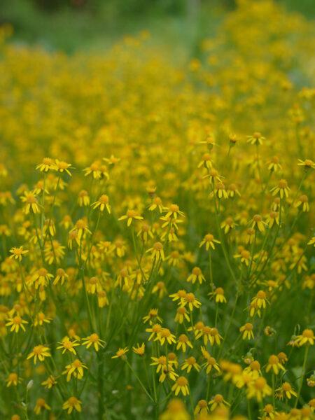 Packera obovata Roundleaf Ragwort in bloom