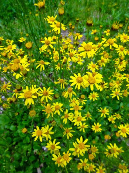 Packera obovata Roundleaf Ragwort wildflower
