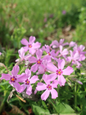 Phlox subulata Moss Phlox native wildflower