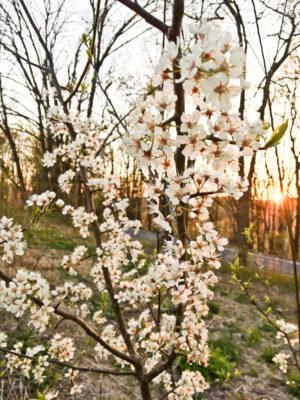 Prunus americana American Plum flowers
