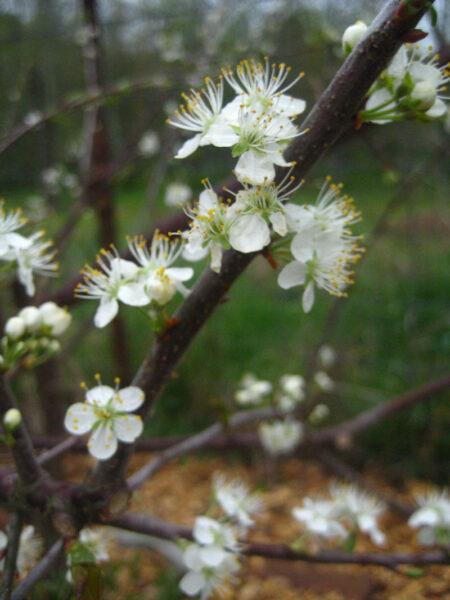 Prunus maritima Beach Plum flowers
