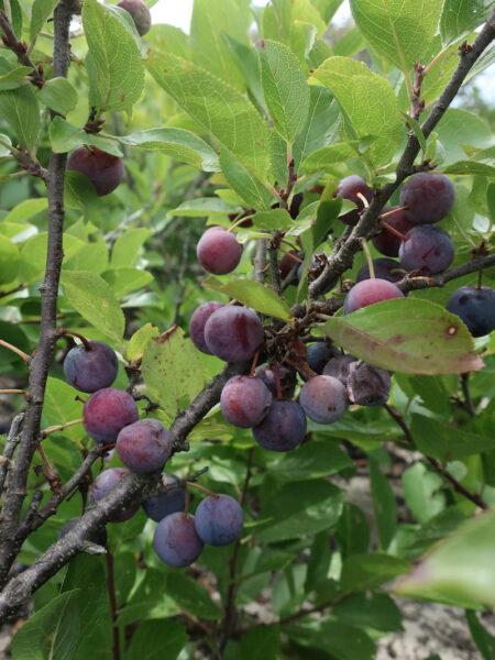 Prunus maritima Beach Plum fruit