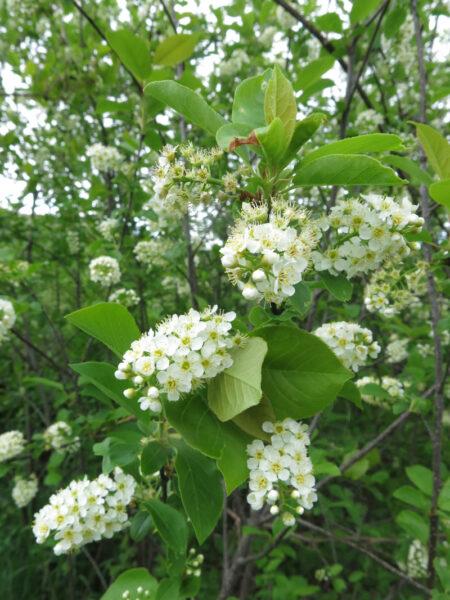 Prunus virginiana Chokecherry flower