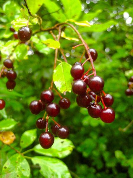 Prunus virginiana Chokecherry fruit