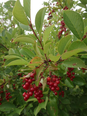 Prunus virginiana Chokecherry fruits