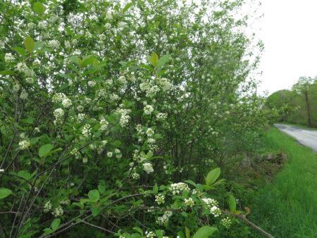 Prunus virginiana Chokecherry habit