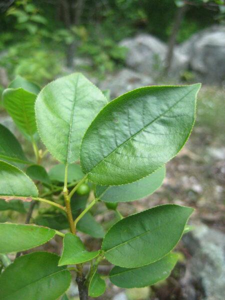Prunus virginiana Chokecherry leaf Wild