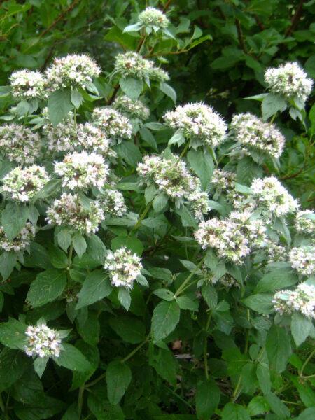Pycnanthemum incanum, Hoary Mountain Mint