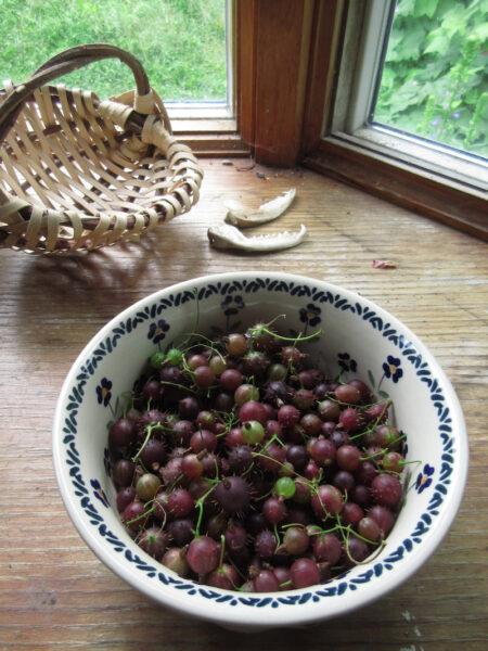 Ribes cynosbati Prickly Gooseberry fruit