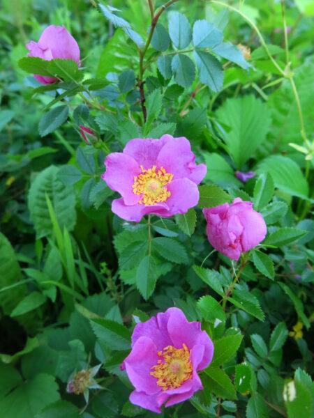 Rosa carolina Carolina Rose flower
