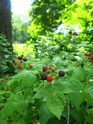 Rubus occidentalis Blackcap Raspberry