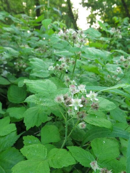 Rubus occidentalis Blackcap Raspberry flower