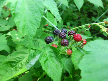 Rubus occidentalis Blackcap Raspberry fruit