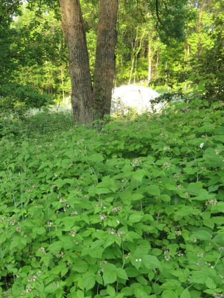 Sward of Rubus occidentalis Blackcap Raspberry
