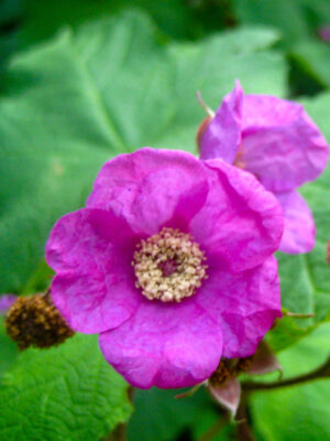 Rubus odoratus Purple Flowering Raspberry