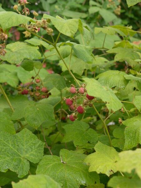 Rubus odoratus, Purple Flowering Raspberry fruit