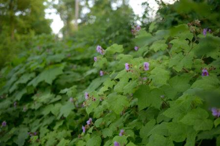 Rubus odoratus Purple Flowering Raspberry habit