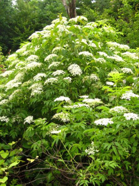Sambucus canadensis Elderberry form native shrub